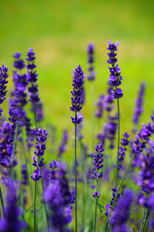 sun-safety-lavender